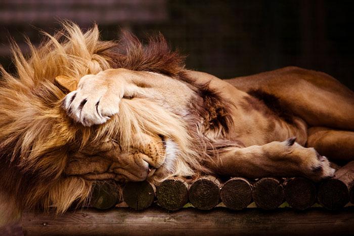 عکس شیر سلطان جنگل (30)