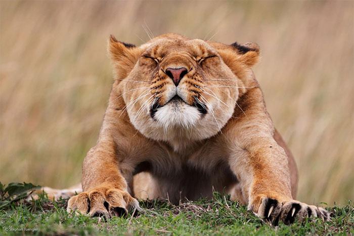 عکس شیر سلطان جنگل (31)