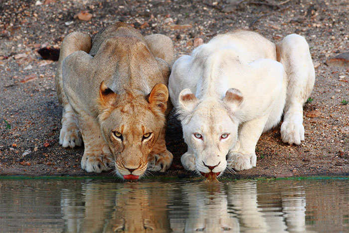 عکس شیر سلطان جنگل (33)