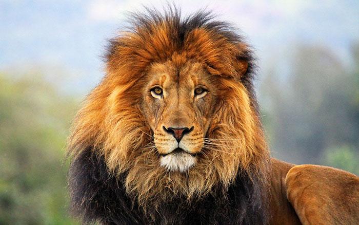 عکس شیر سلطان جنگل (4)