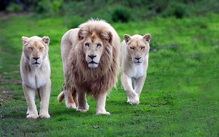 عکس شیر سلطان جنگل (5)