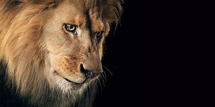عکس شیر سلطان جنگل (6)