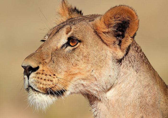 عکس شیر سلطان جنگل (8)