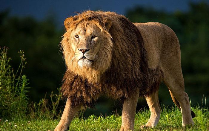 عکس شیر سلطان جنگل (9)