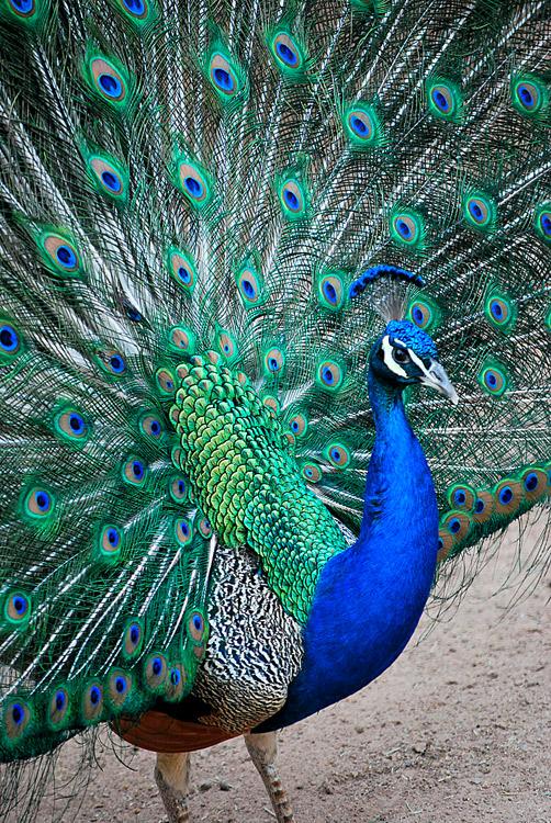 عکس هایی از طاووس