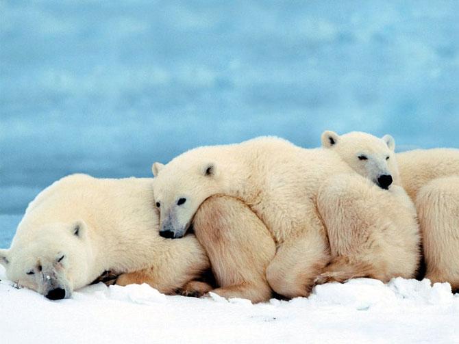 خرس قطبی