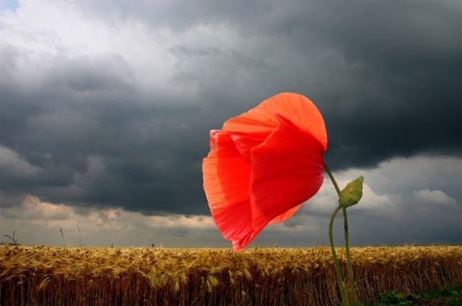 عکس گل شقایق