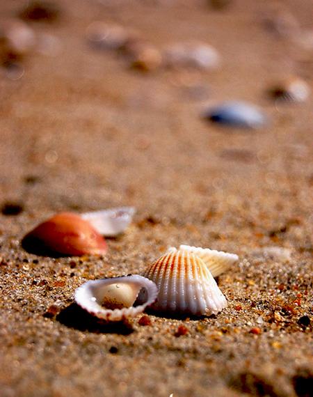 صدف های زیبای دریایی