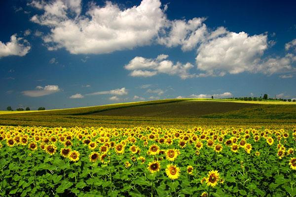 گل های آفتاب گردان در توسکانی