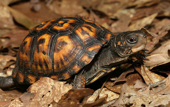 عکس لاکپشت