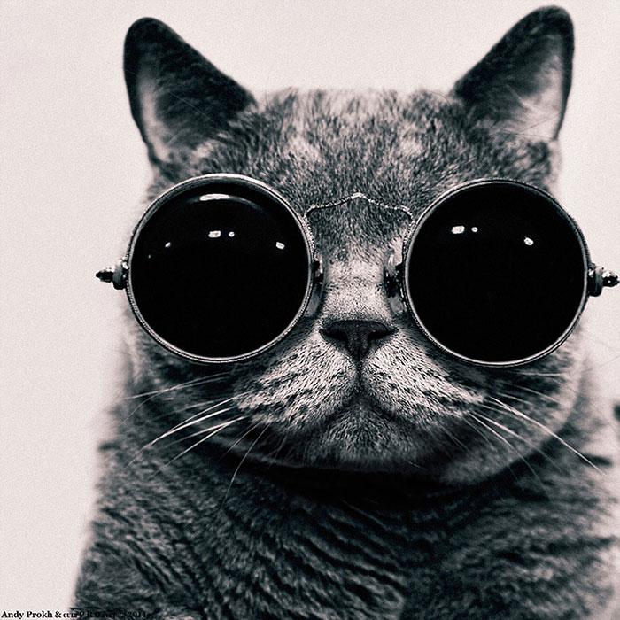 گربه مو کوتاه انگلیسی