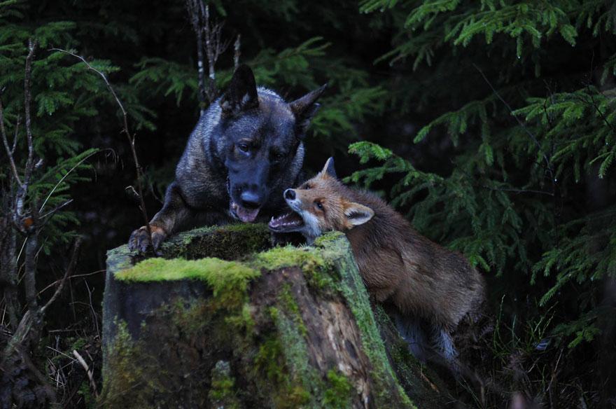 دوستی سگ نروژی و روباره قرمز