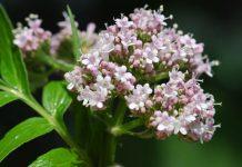 عکس گل های گیاه سنبل الطیب
