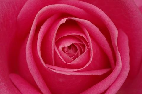 گلبرگ رز