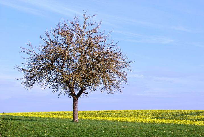 عکس تک درخت تنهای بهاری برای پروفایل