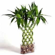 فواید و خواص دارویی گیاه بامبو