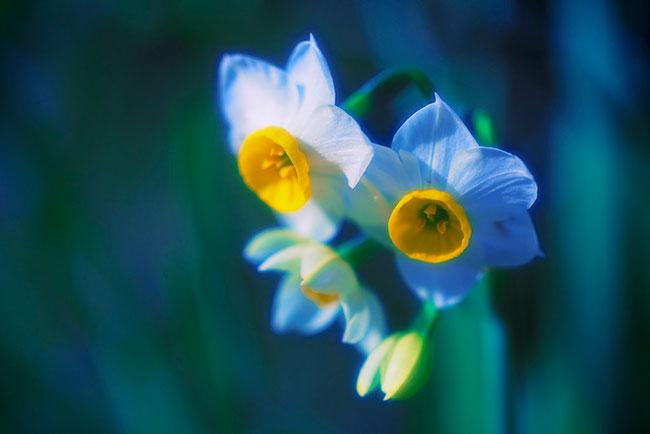 عکس گل نرگس آبی