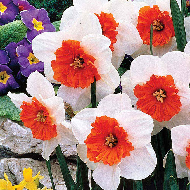 عکس گل نرگس سفید قرمز