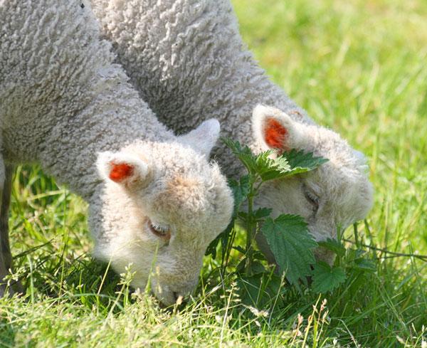 عکس بچه گوسفند