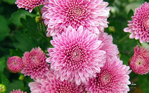 گل های داوودی صورتی رنگ از نمای نزدیک