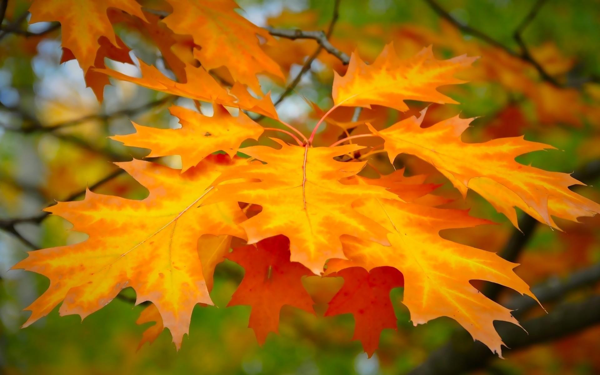 برگ های پاییزی درختان افرا