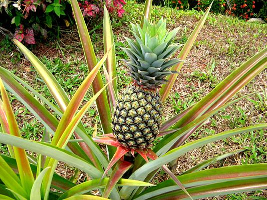 آناناس , pineapple , بوته و درخت آناناس