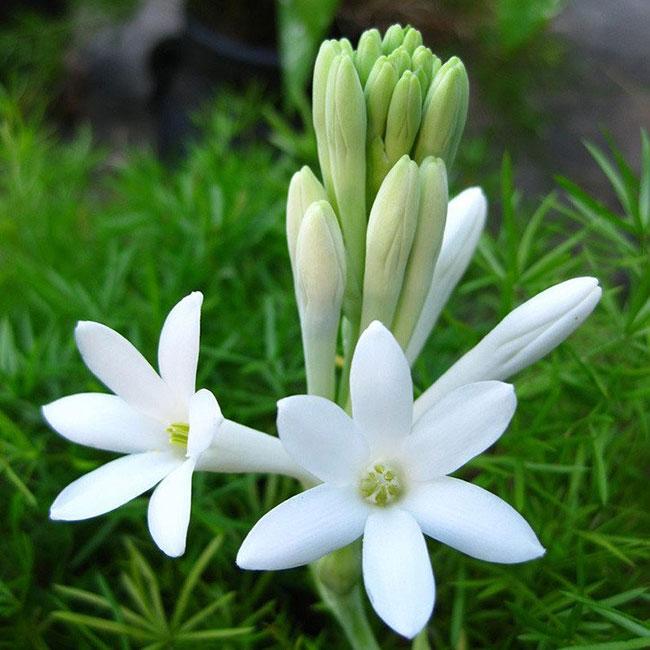 عکس گل مریم زیبا