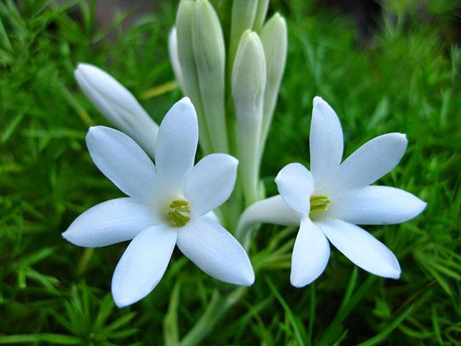 عکس گل مریم سفید