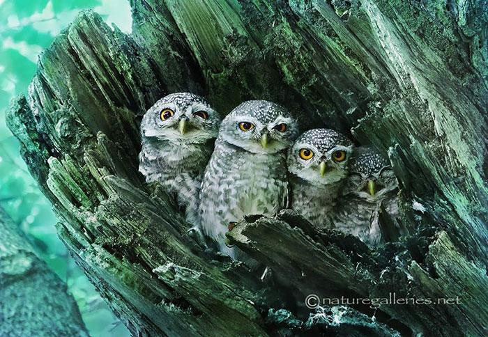 عکس های زیبا و خیره کننده از جغد های طبیعت