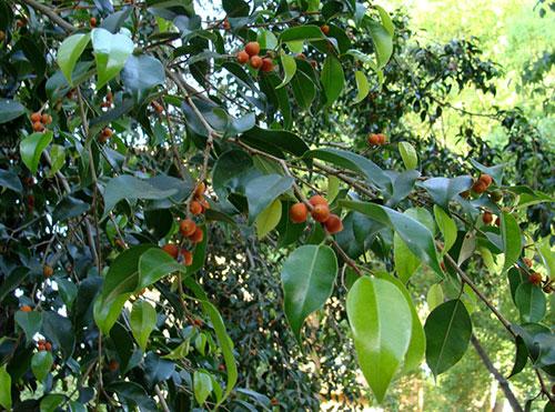 میوه درخت فیکوس بنجامین