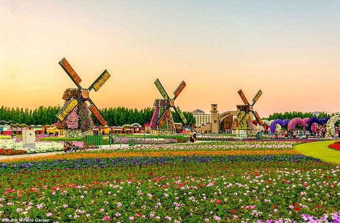 مرزبندی باغ با آسیاب های بادی، این منطقه شامل محل پارک ماشین، استراحتگاه، یک نمازخانه و فروشگاه برای بازدید کنندگان باغ Dubai Miracle Garden است.