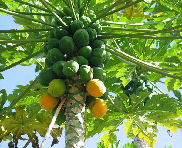 عکس درخت میوه پاپایا