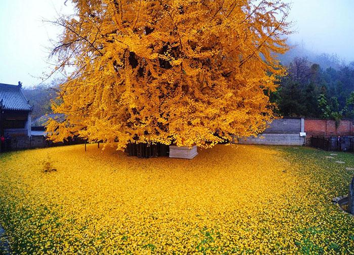 درخت 1400 ساله ژینکو در معبدی بودایی در چین
