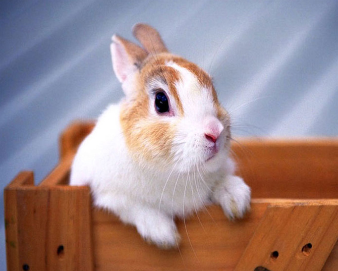 عکس خرگوش حنایی
