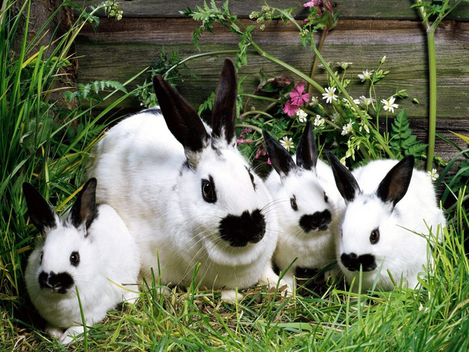 عکس خرگوش سیاه
