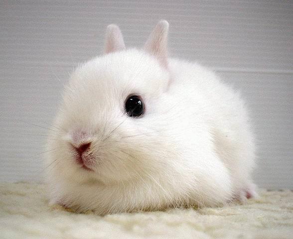 عکس خرگوش سفید