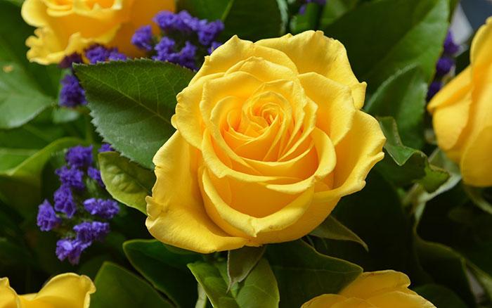عکس گل رز زرد (1)