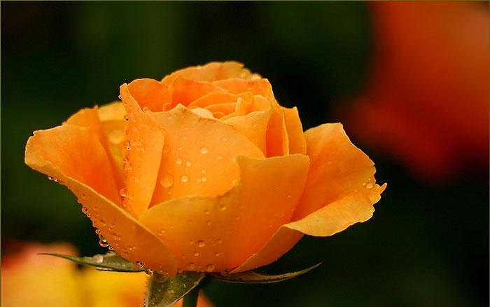 عکس گل رز در طبیعت(10)