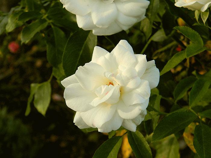 عکس گل رز سفید رنگ(11)