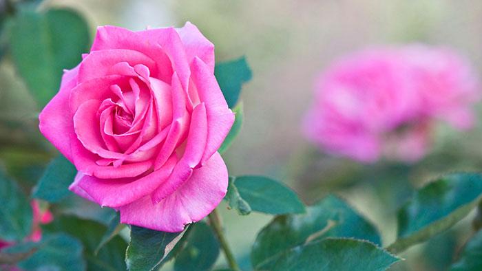 عکس گل رز صورتی(2)