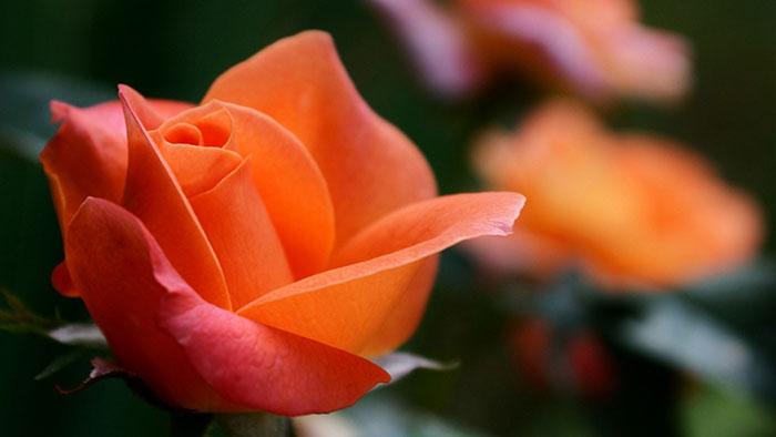 عکس گل رز نارنجی(3)