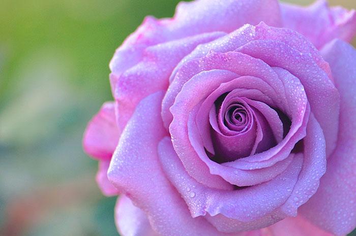 عکس گل رز بنفش(4)