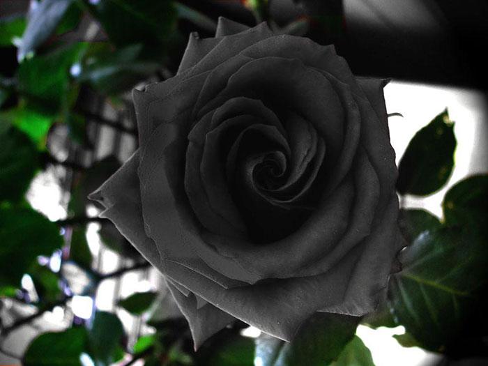 عکس گل رز مشکلی و سیاه (5)