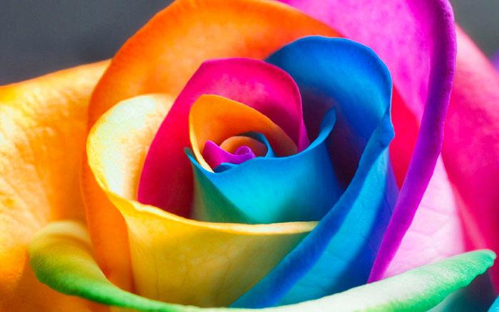 عکس گل رز رنگین کمانی(9)