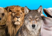 وضعیت خواب شما به کدام حیوان شبیه تر است: گرگ، شیر، دلفین یا خرس؟!