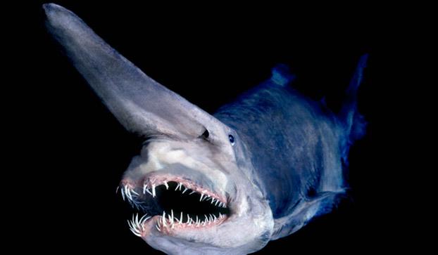 عکس های عجیب و وحشتناک از دیو کوسه های اعماق اقیانوس