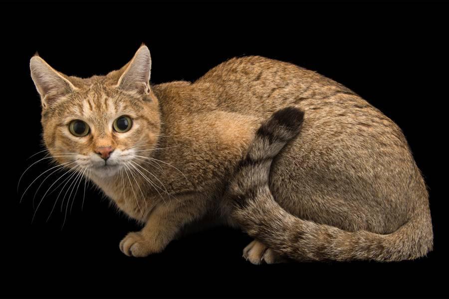 گربه وحشی