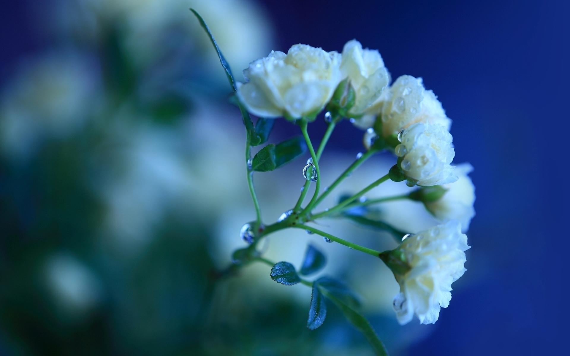 دانلود عکس پروفایل گل رز سفید