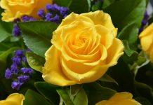 دانلود عکس پروفایل گل رز زرد