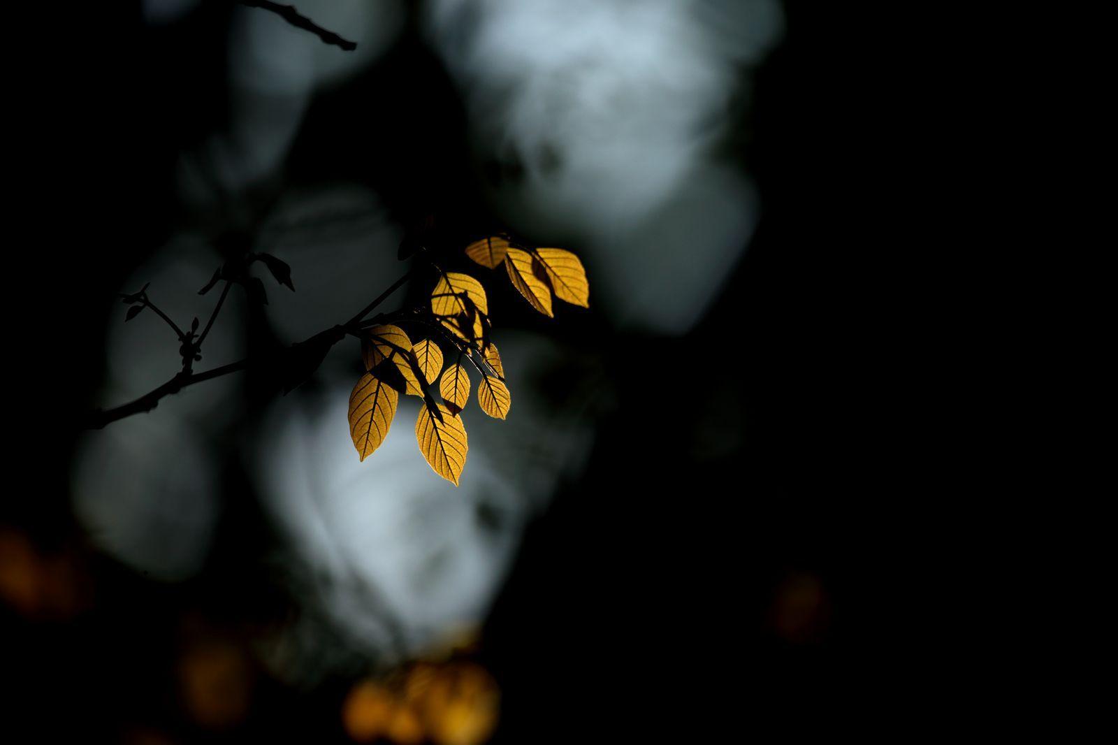 عکس روز : درخشش برگ زیبا و رویایی پاییزی در شب